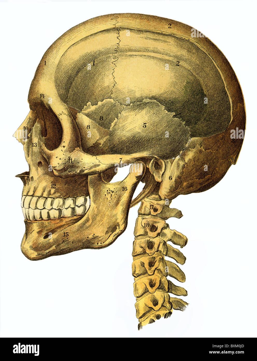 La medicina, la anatomía, la calavera humana natural, ejemplo, en ...