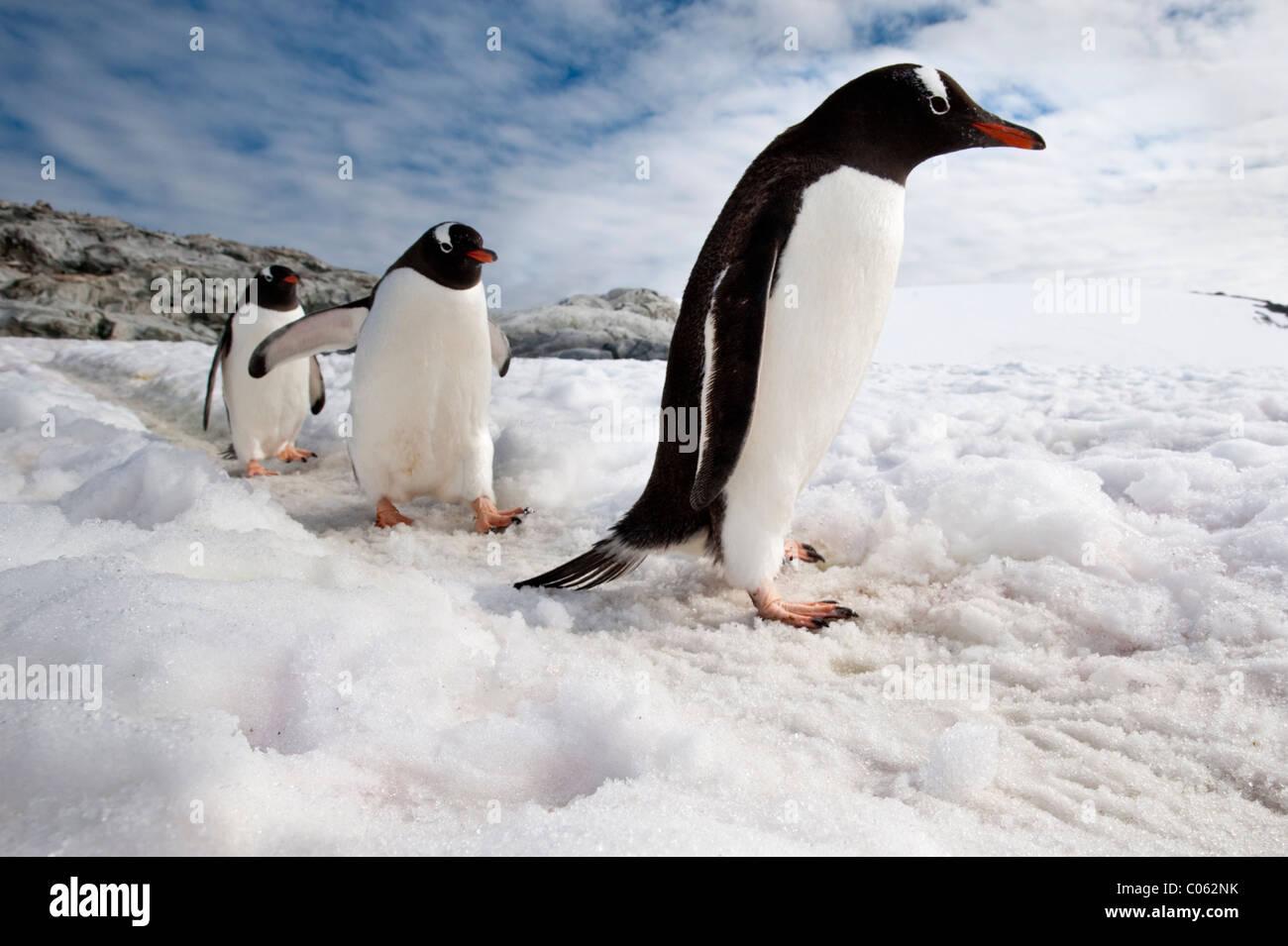 Pingüinos Gentoo, isla Peterman, Península Antártica, en la Antártida. Imagen De Stock