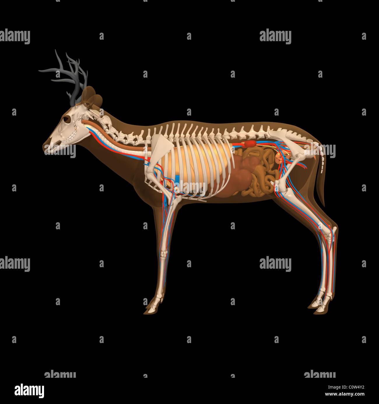 Anatomía de los ciervos Foto & Imagen De Stock: 34973430 - Alamy