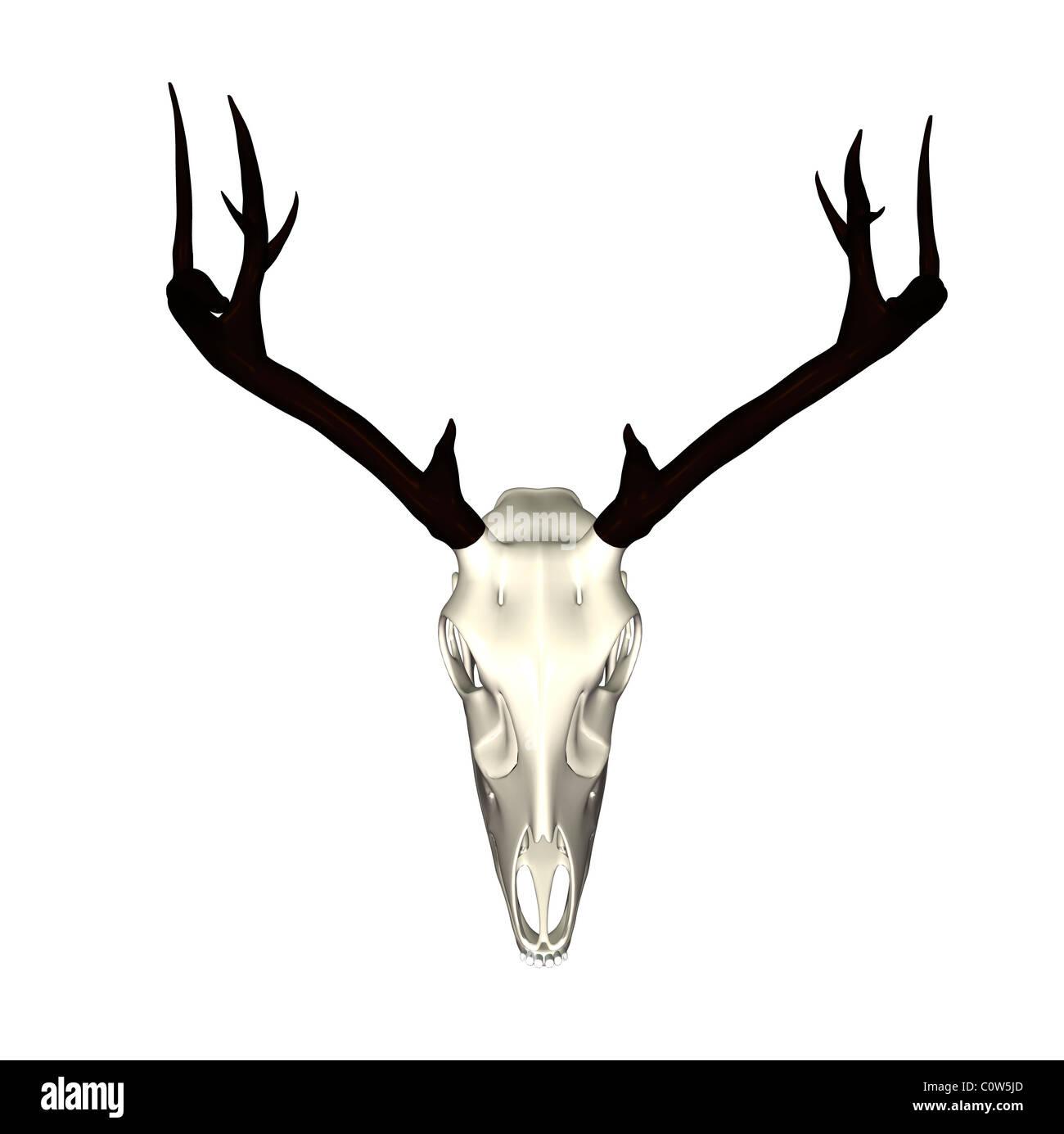 Anatomía de ciervo esqueleto Foto & Imagen De Stock: 34973973 - Alamy