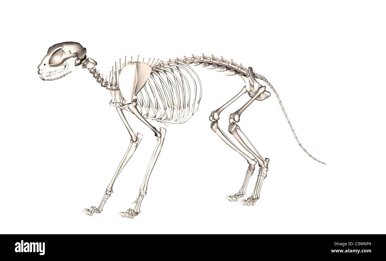 Anatomía del esqueleto de gato Foto & Imagen De Stock: 34974860 - Alamy