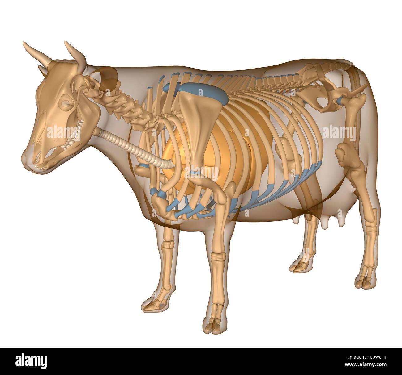 Anatomía de la vaca respiratoria cuerpo transparente Foto & Imagen ...