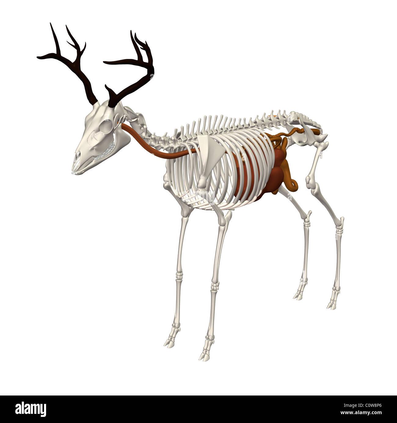 Anatomía de ciervo digestión esqueleto cuerpo transparente Foto ...