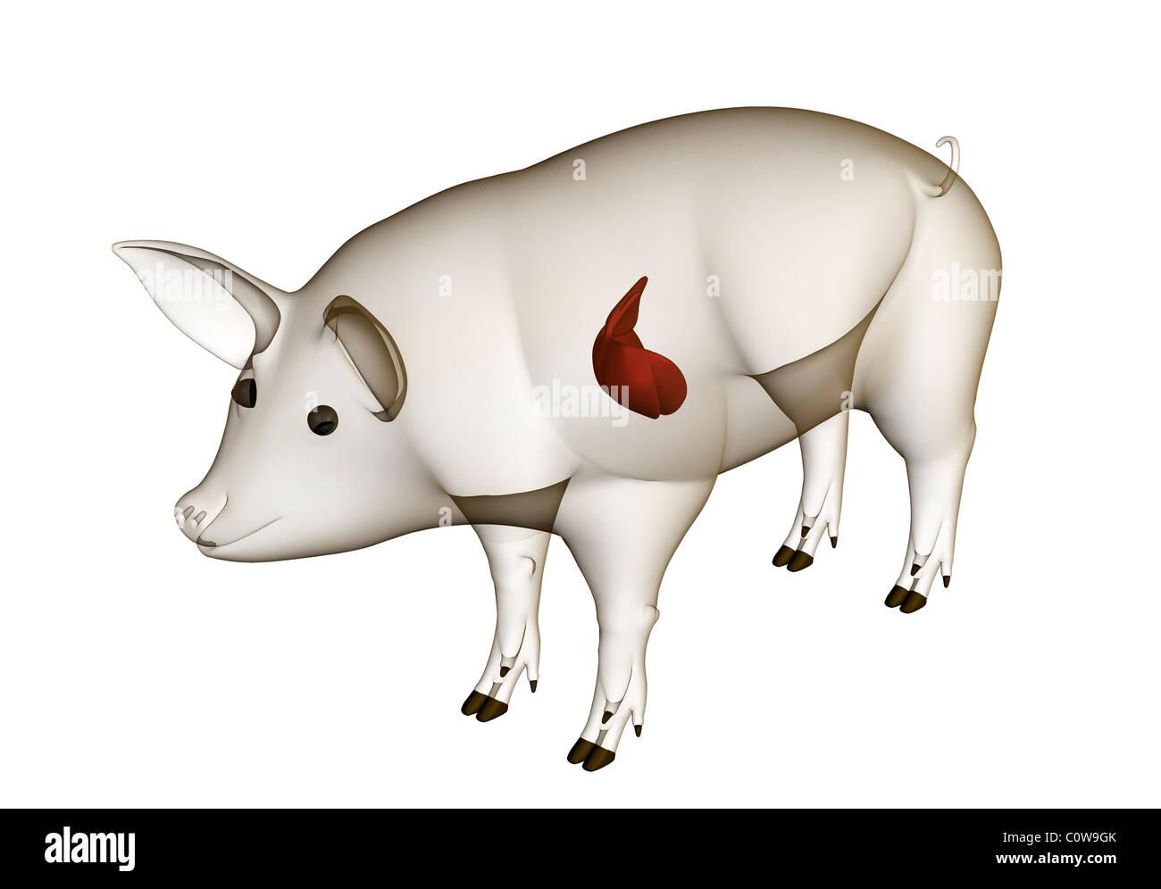 Anatomía del hígado de cerdo con cuerpo transparente Foto & Imagen ...