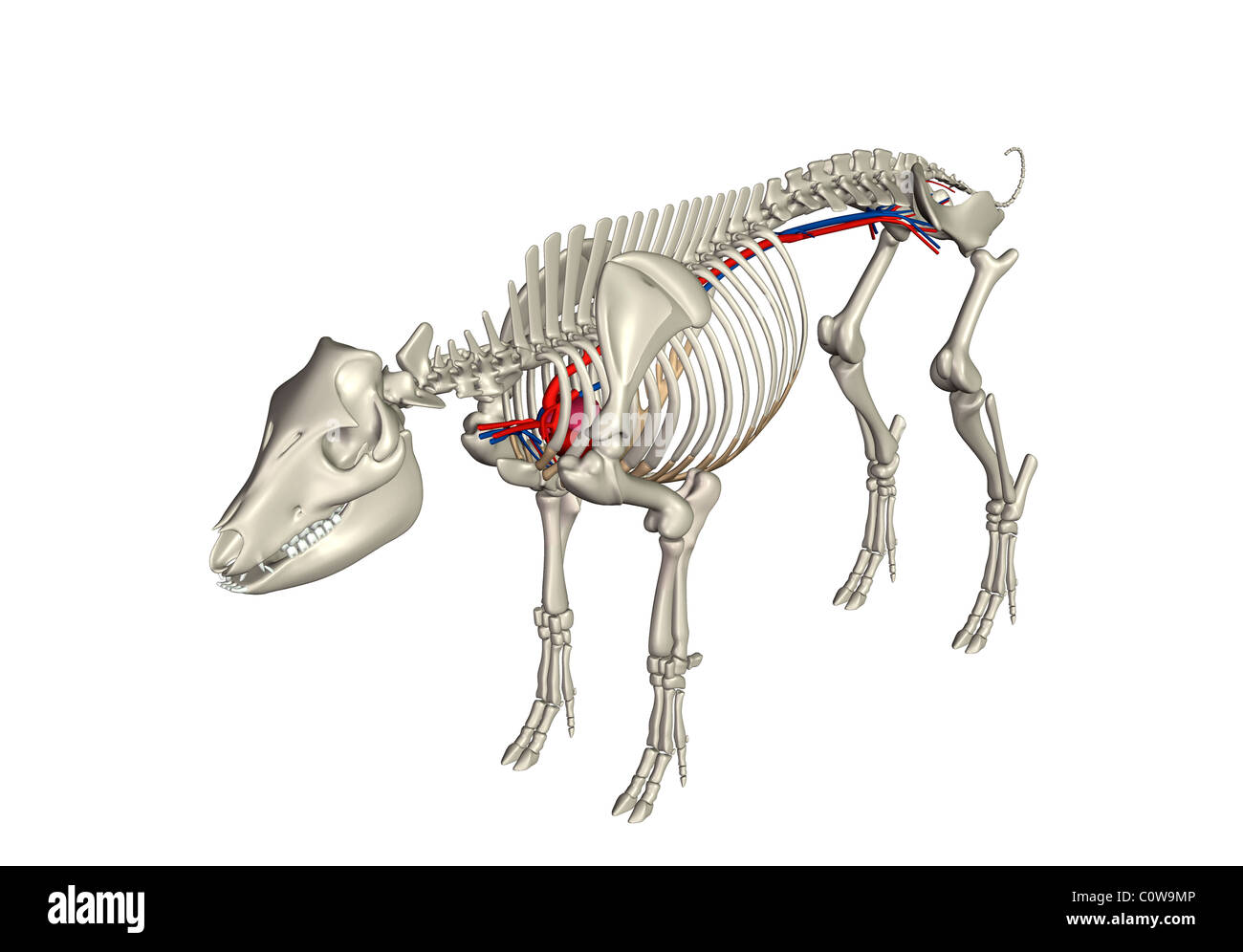 Perfecto Anatomía De Un Cerdo Fetal Foto - Imágenes de Anatomía ...