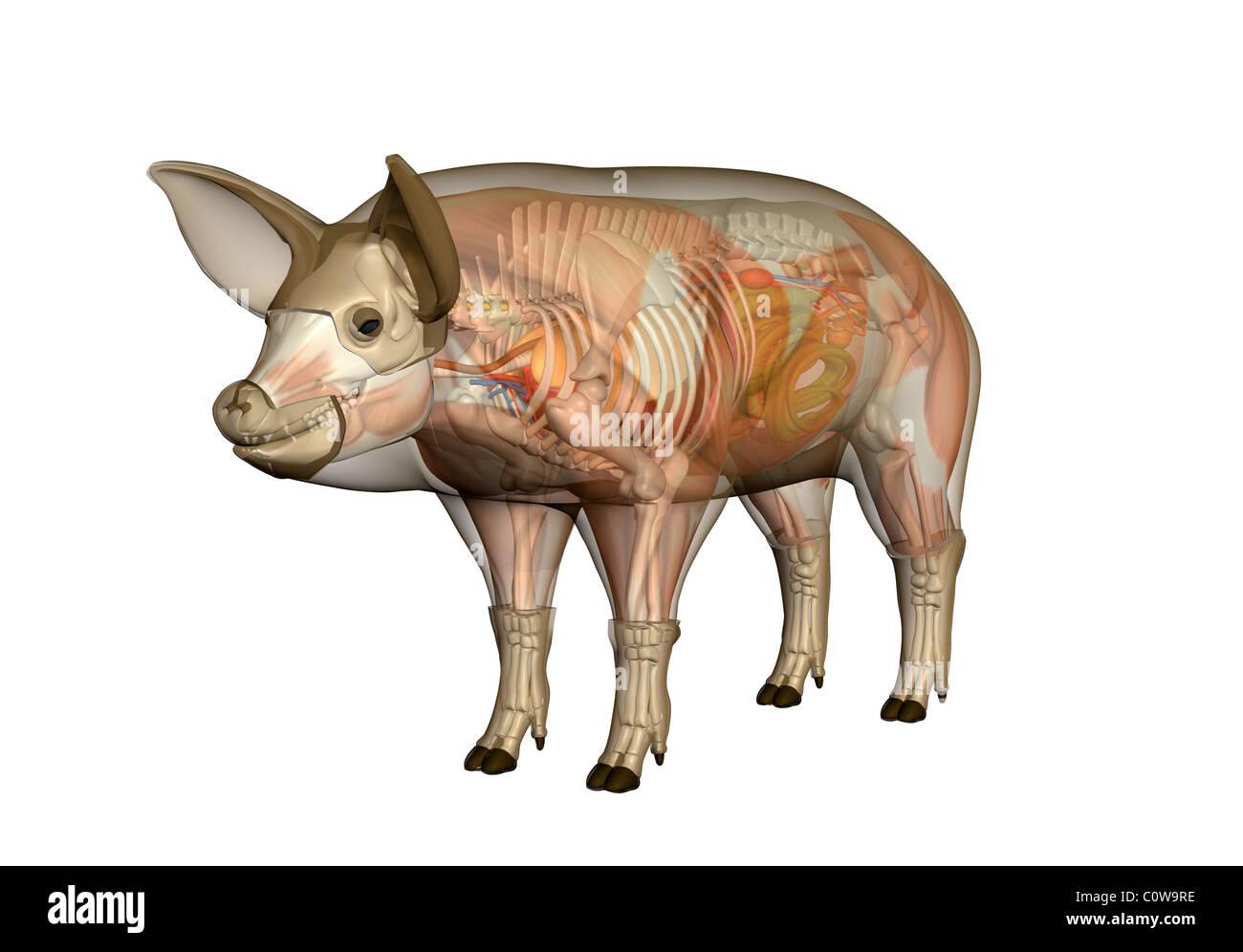 Anatomía del cerdo Foto & Imagen De Stock: 34977250 - Alamy
