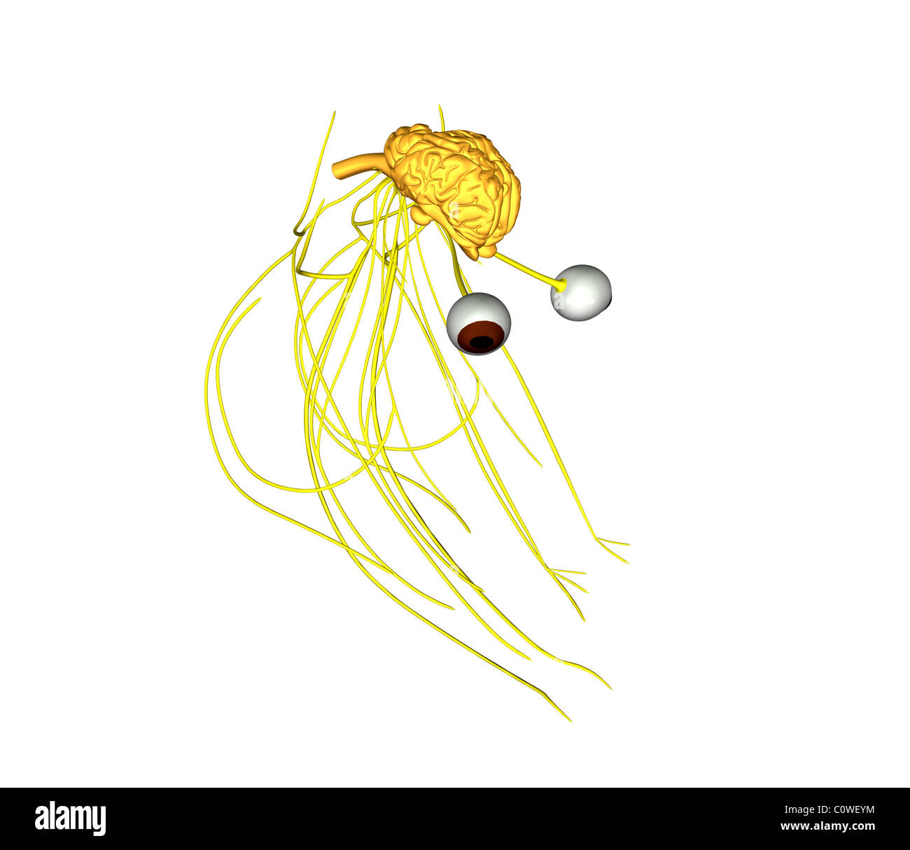 Anatomía del cerebro de vaca Foto & Imagen De Stock: 34981288 - Alamy