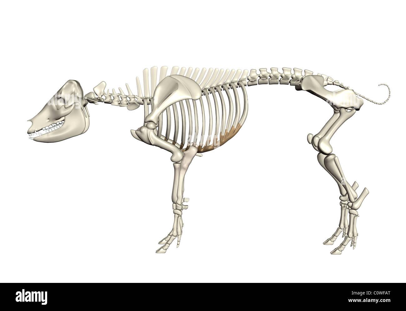 Anatomía del cerdo esqueleto Foto & Imagen De Stock: 34981600 - Alamy