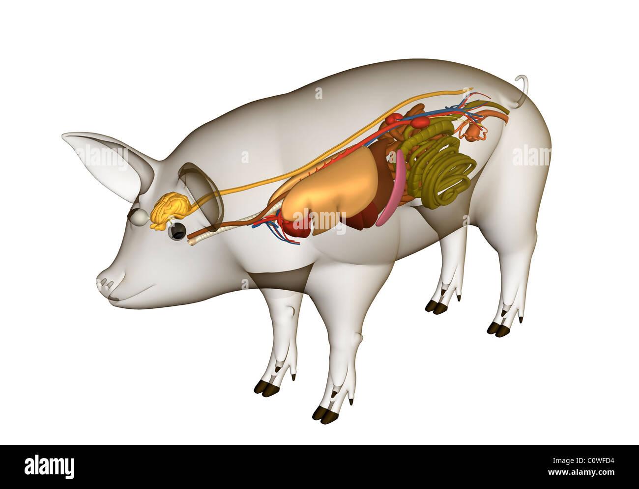 Anatomía del cerdo órganos con cuerpo transparente Foto & Imagen De ...