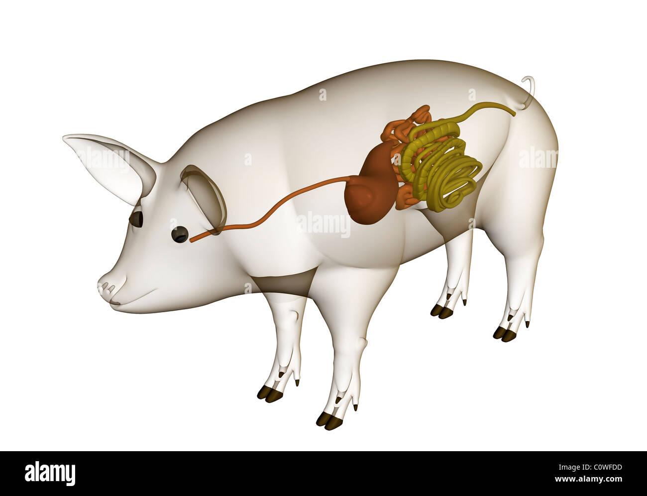 Anatomía de cerdo la digestión el estómago intestino tracto destripa ...