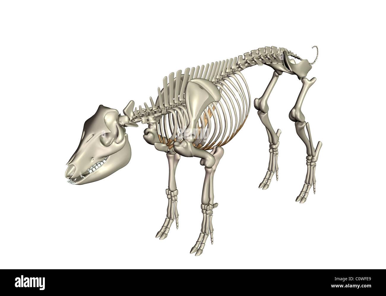 Anatomía El esqueleto huesos de cerdo Foto & Imagen De Stock ...