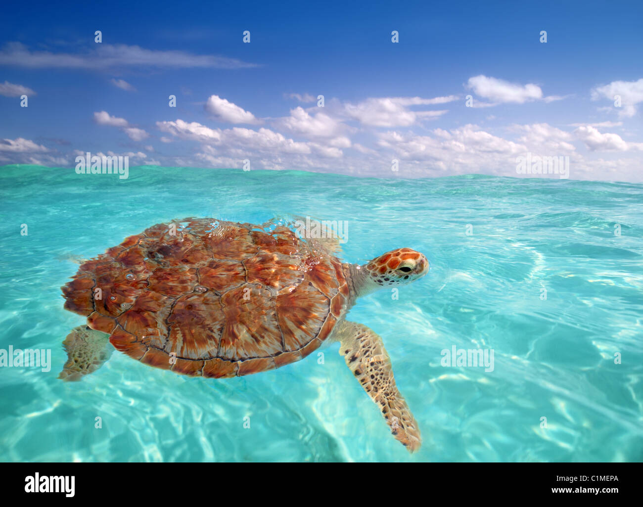 Tortuga verde Chelonia mydas mar Caribe Cheloniidae superficie de agua Imagen De Stock