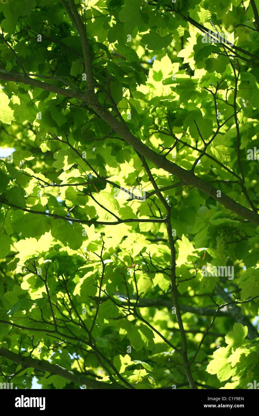 El Verano Las Hojas De Arboles Que Dan Sombra En Woodlandsuk Foto - Arboles-que-dan-sombra