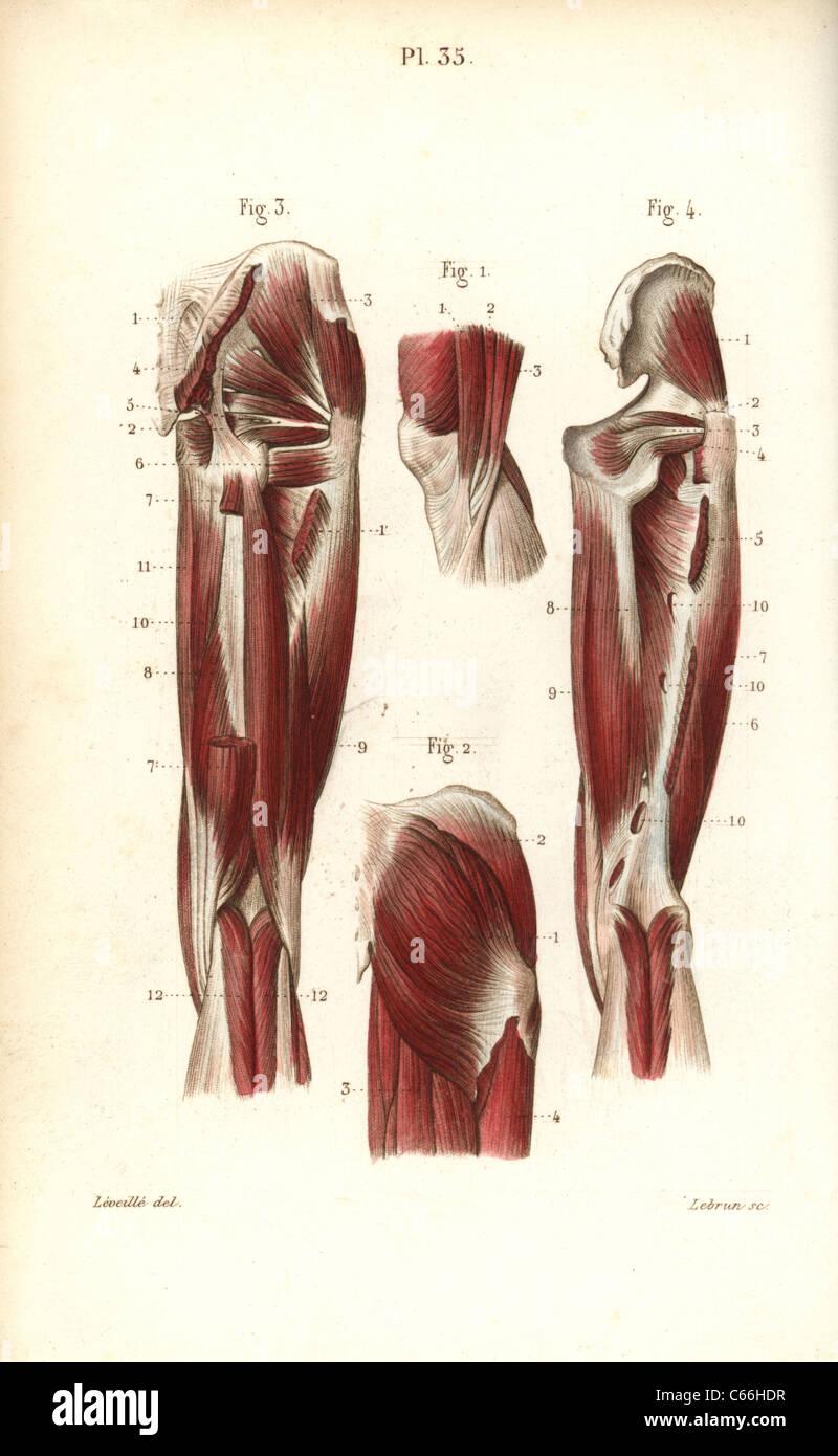 Magnífico Diagrama De Los Tendones De La Rodilla Viñeta - Anatomía ...