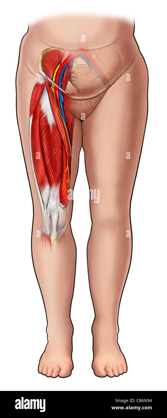 Hermosa Anatomía De Los Músculos De La Ingle Bandera - Imágenes de ...