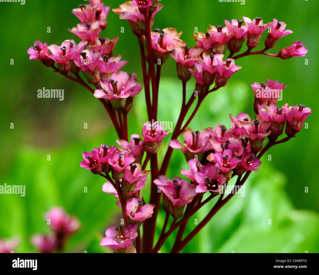Bergenia ballawley primavera flores flores flores perennes hojas ...