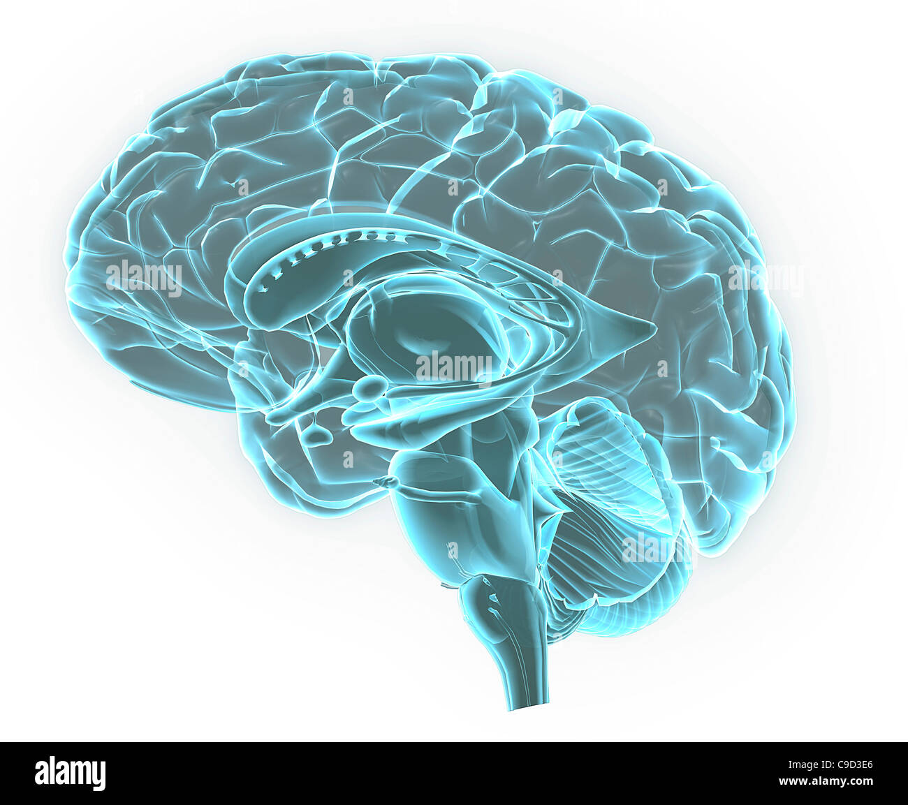 Azul de la imagen de rayos X de la anatomía del cerebro humano, 3-D ...