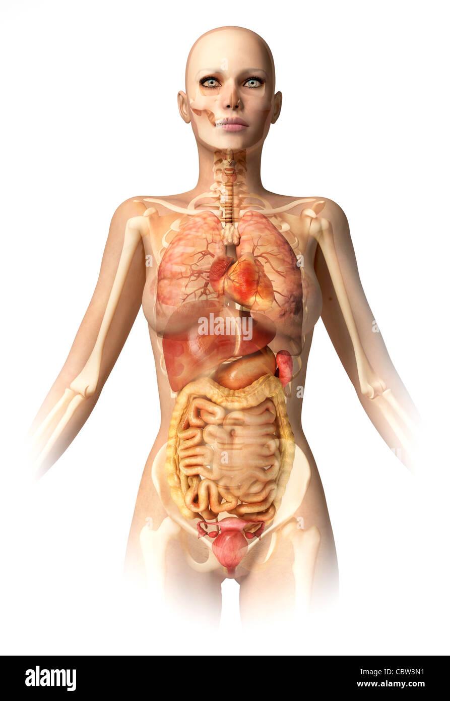 Cuerpo de mujer, con esqueleto óseo y todos los órganos interiores ...