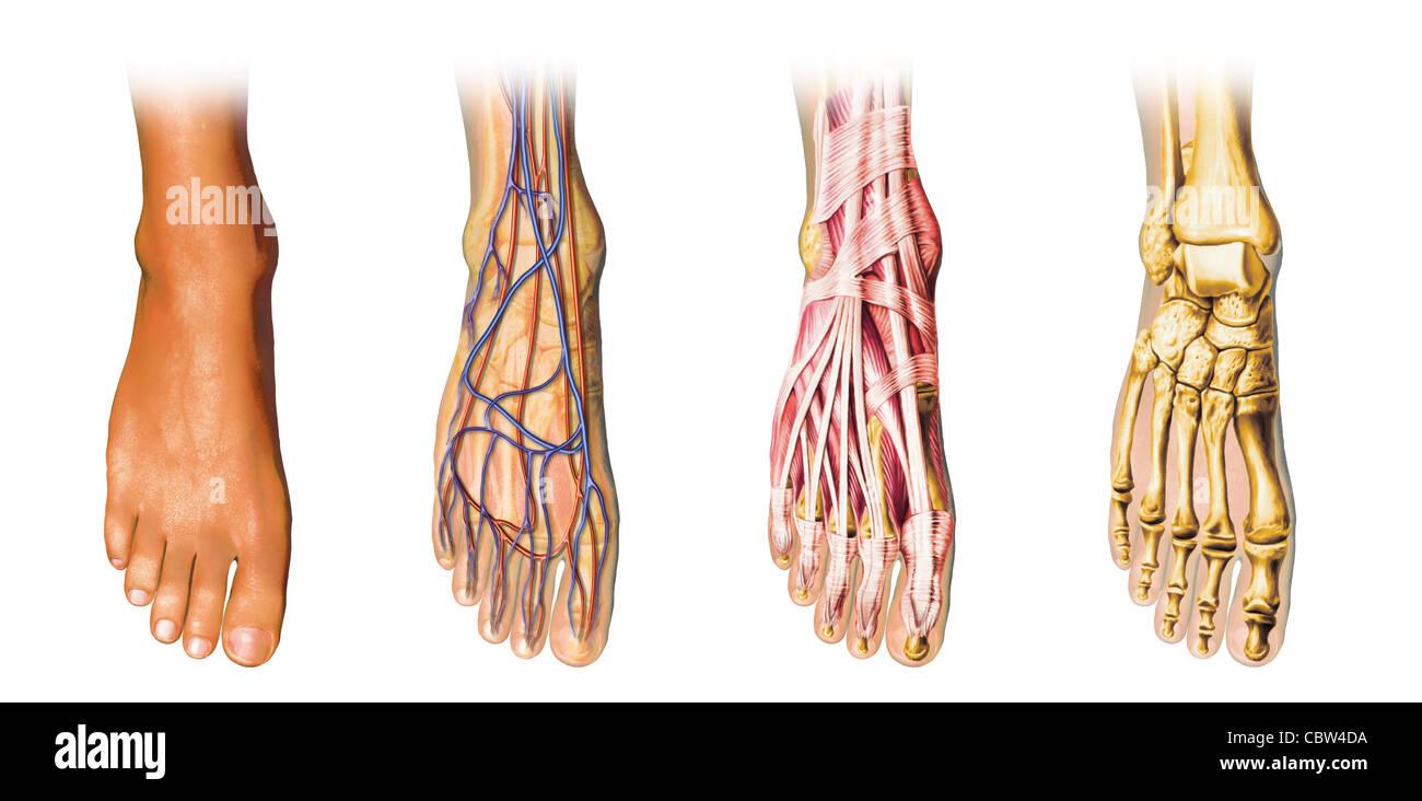 Anatomía del pie humano representación seccionada, mostrando la piel ...