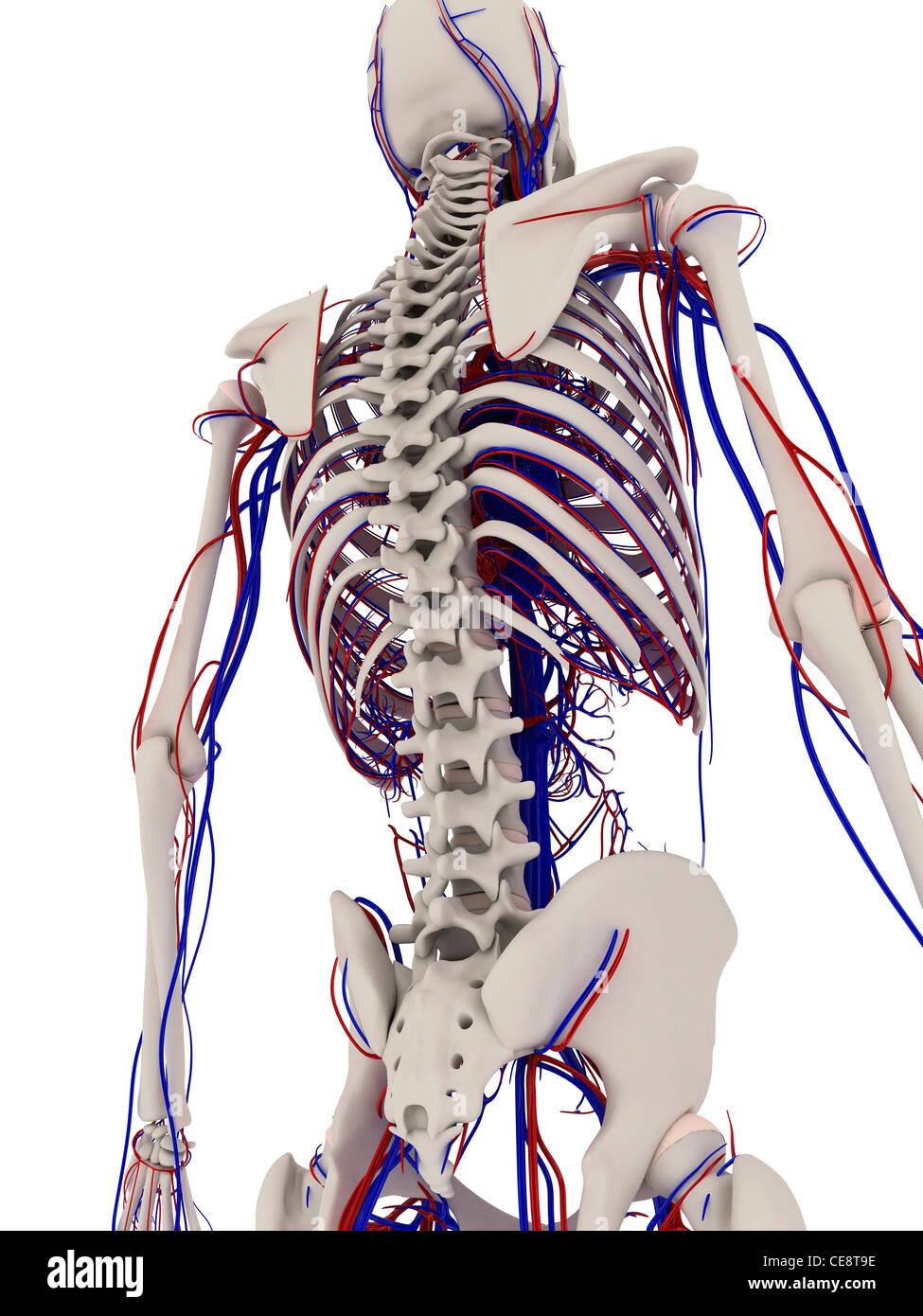 Anatomía Humana. Equipo ilustraciones mostrando los huesos y sistema ...