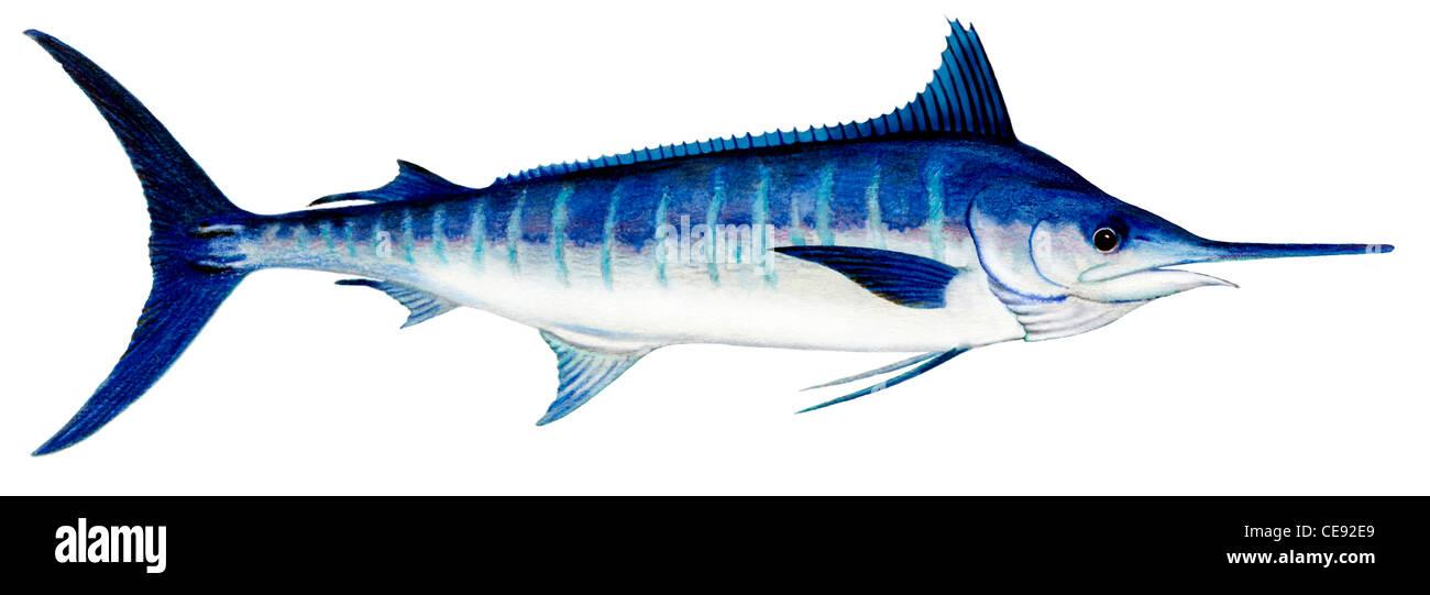 Aguja azul (Makaira nigricans), dibujo. Imagen De Stock