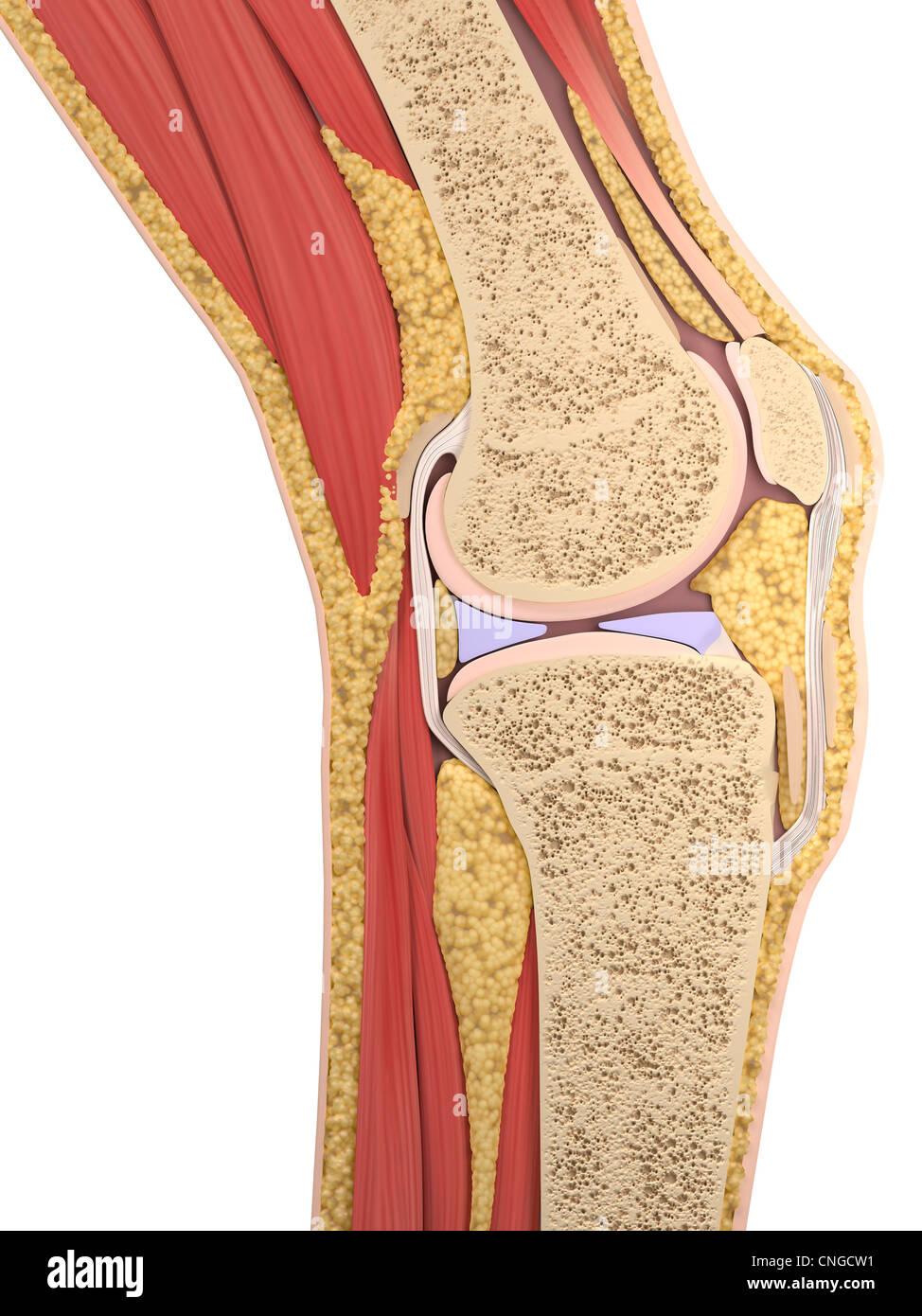 Anatomía de la rodilla la ilustración Foto & Imagen De Stock ...