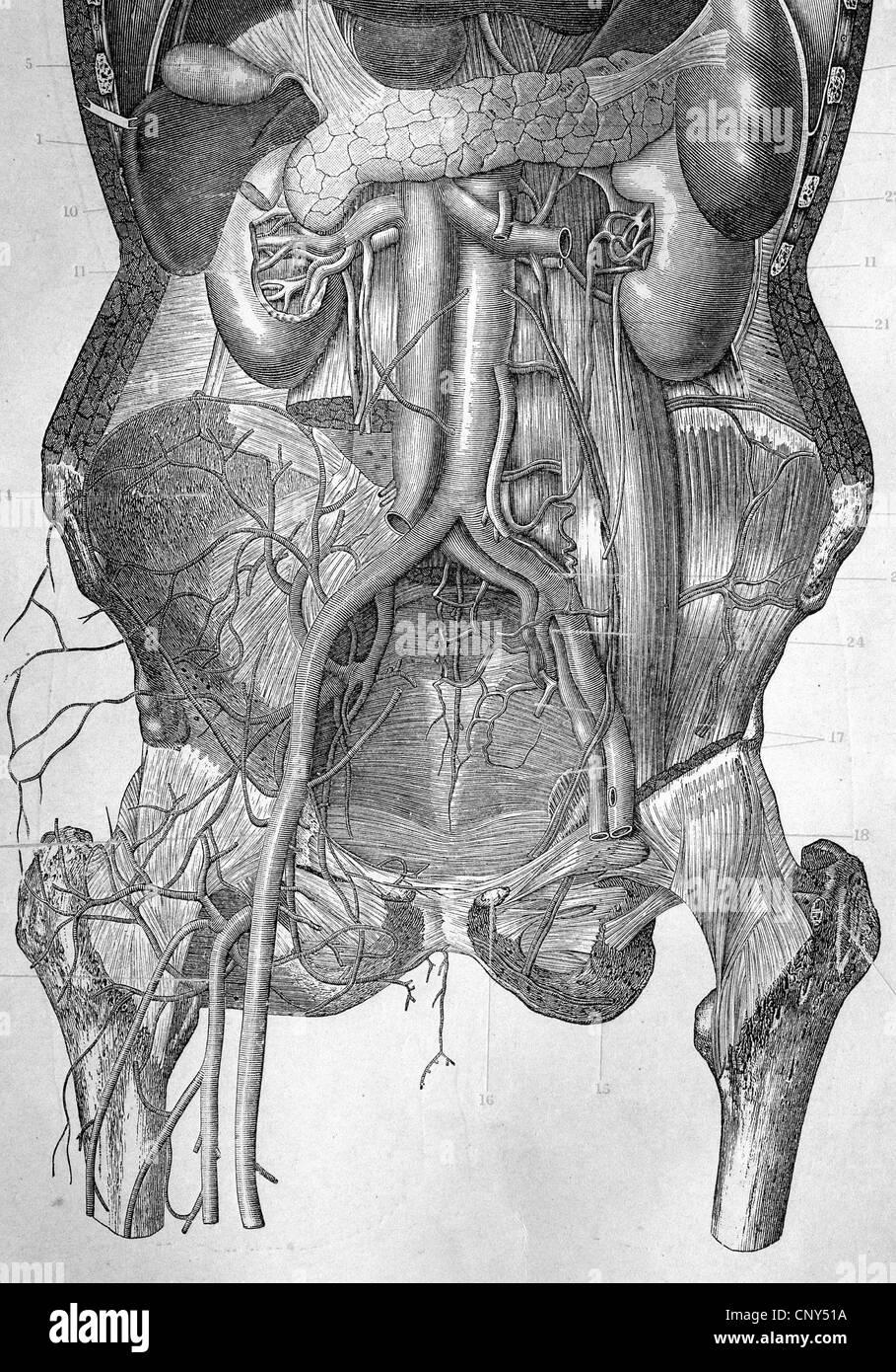 El abdomen del estómago e intestinos humanos tras la extracción de ...