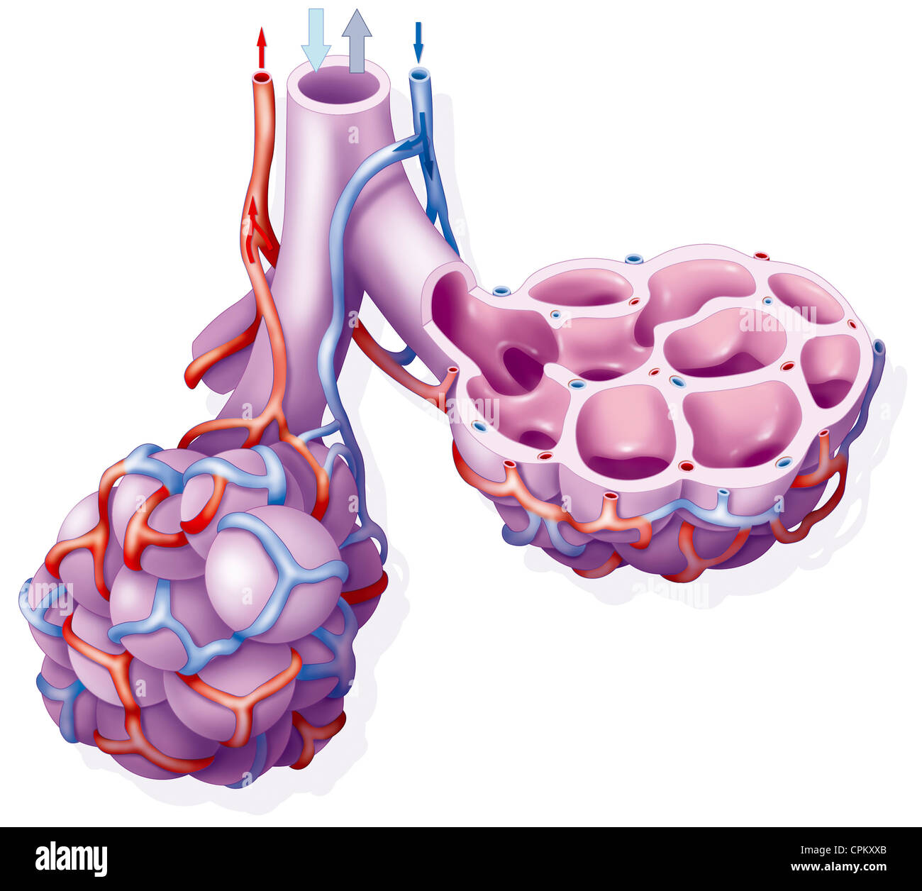 El alvéolo pulmonar, dibujo Foto & Imagen De Stock: 48381379 - Alamy