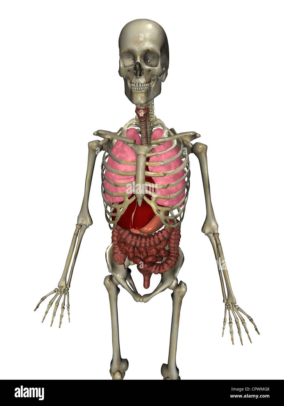 Ilustración anatómica del cuerpo humano mostrando los órganos ...