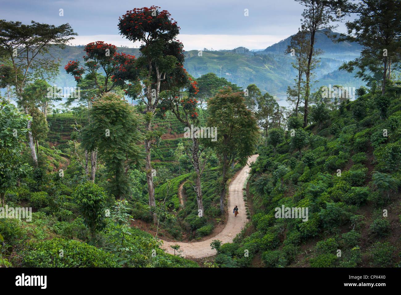 Una plantación de té cerca de Hatton, Sierra Central, Sri Lanka Imagen De Stock