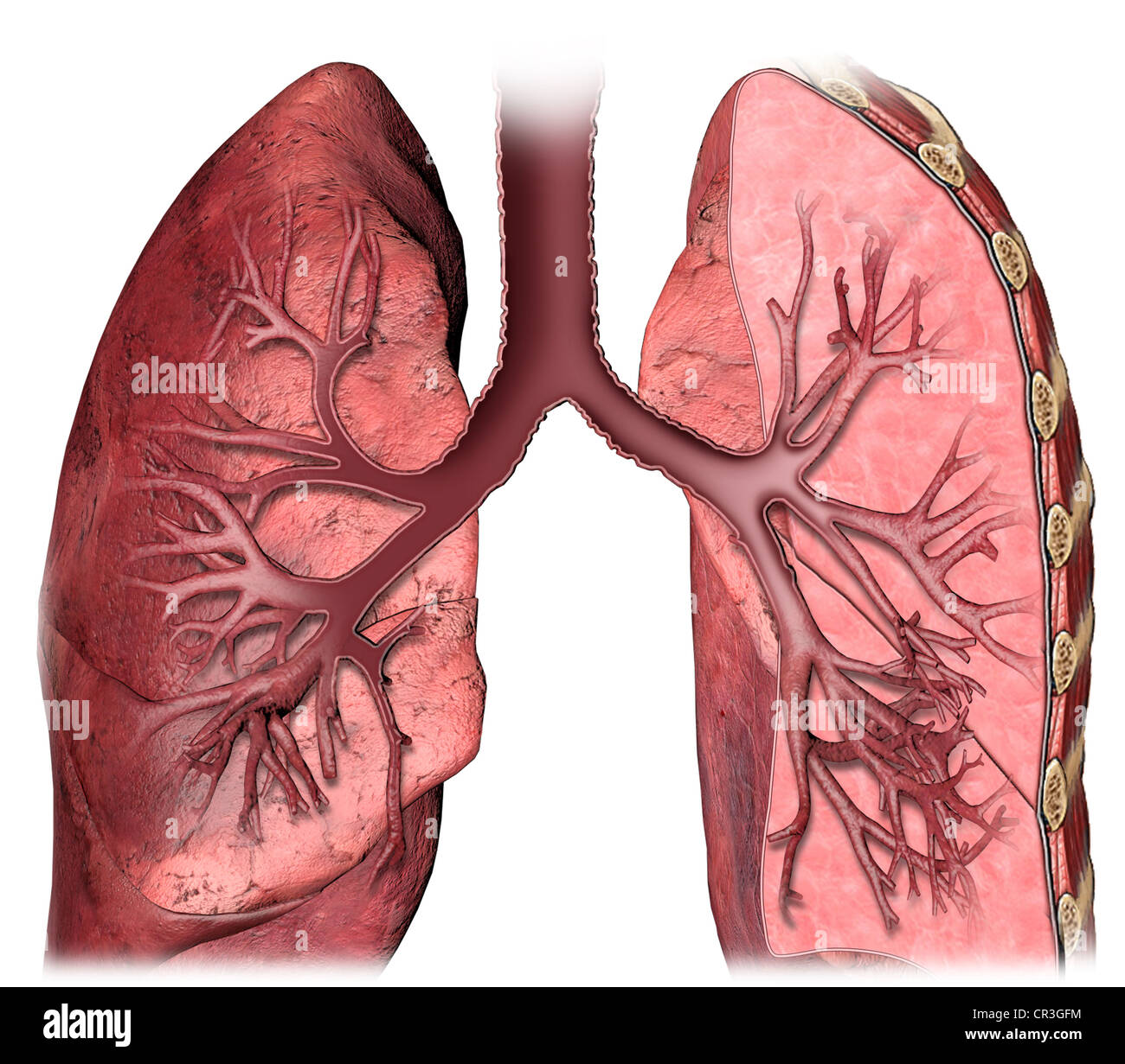 Anatomía del hilio pulmonar Foto & Imagen De Stock: 48636664 - Alamy