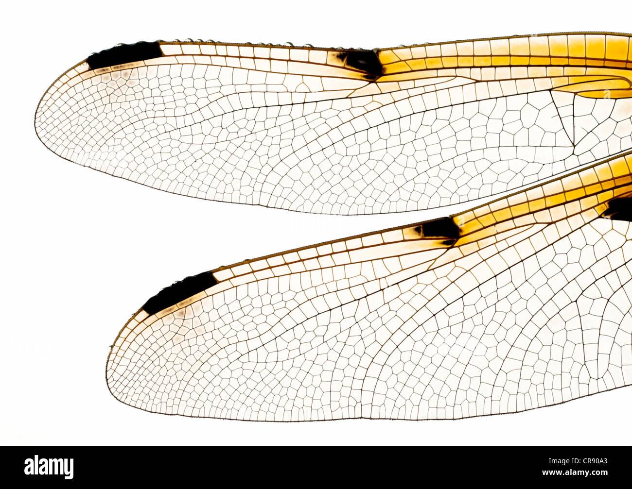 Alas de libélula Imagen De Stock