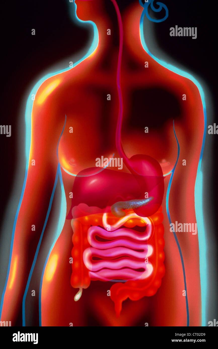 El sistema digestivo, ilustración Foto & Imagen De Stock: 49174421 ...