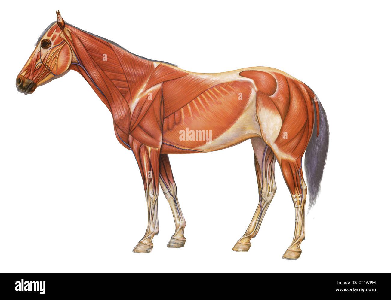 Anatomía del caballo, dibujo Foto & Imagen De Stock: 49280524 - Alamy