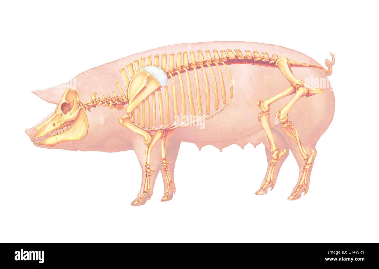Anatomía del cerdo, dibujo Foto & Imagen De Stock: 49280533 - Alamy