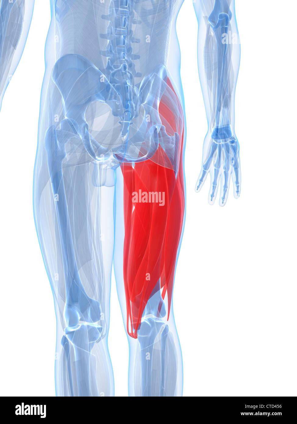 Los músculos de los muslos de ilustraciones Foto & Imagen De Stock ...