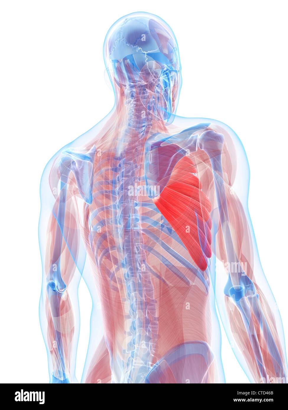 Los músculos pectorales ilustraciones Foto & Imagen De Stock ...