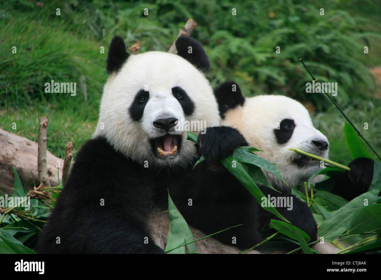 El Oso Panda Gigante (Ailuropoda Melanoleuca Comiendo