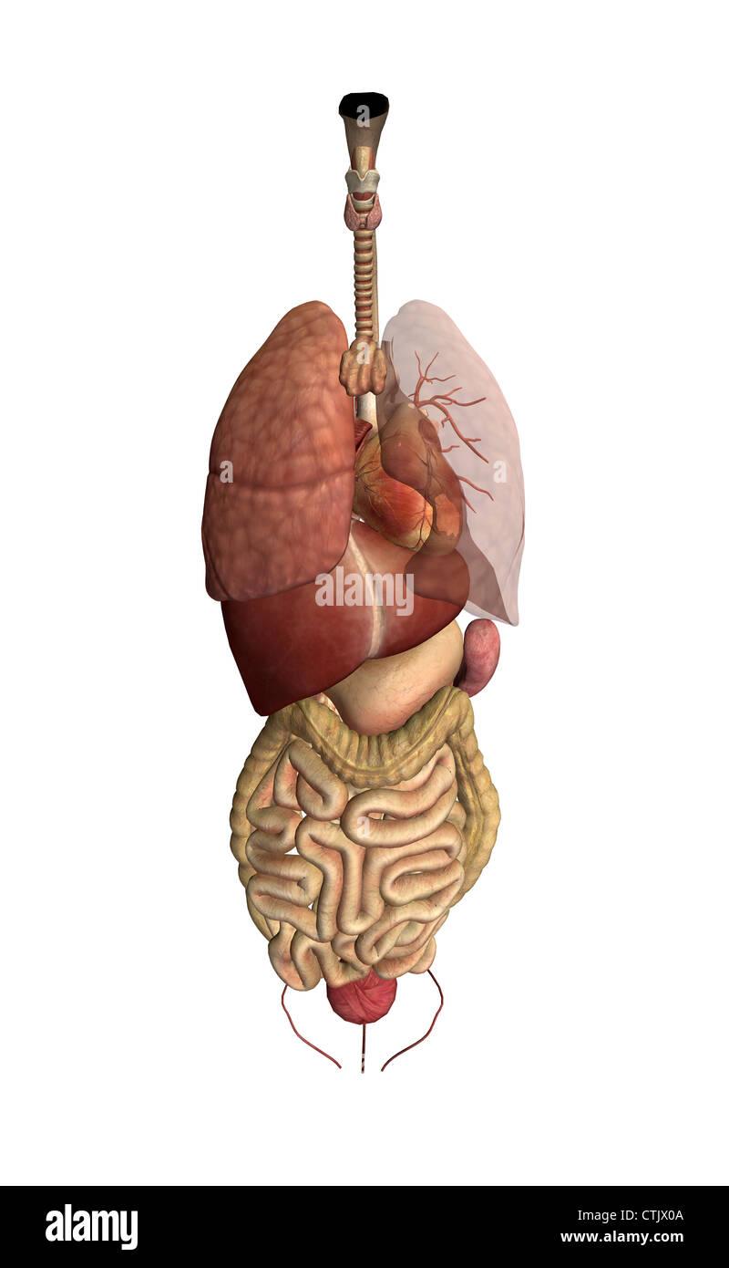 Anatomía Humana órganos (pulmón, corazón, hígado, digestión Foto ...