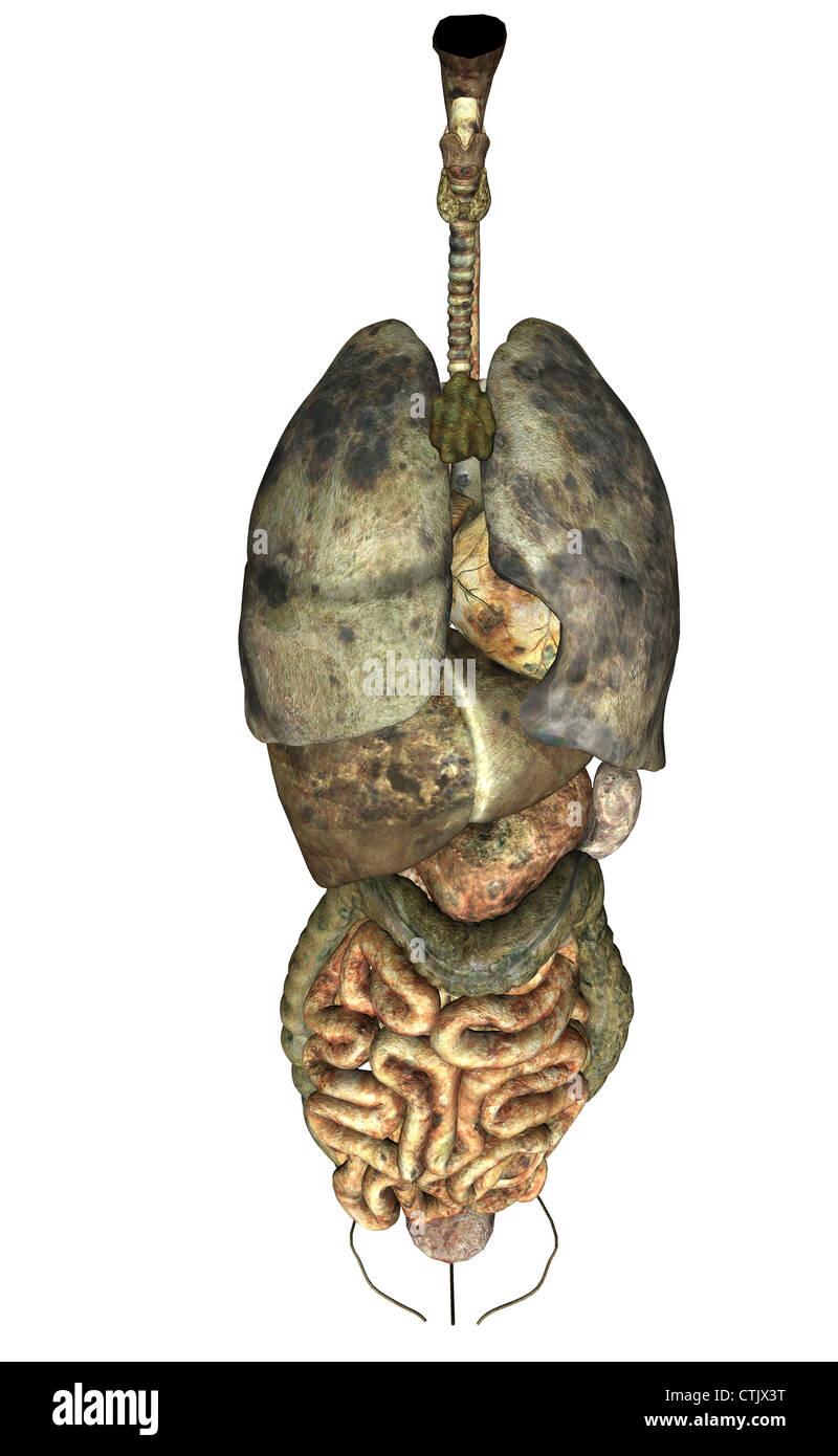 Anatomía Humana órganos (pulmón, corazón, hígado, digestión ...