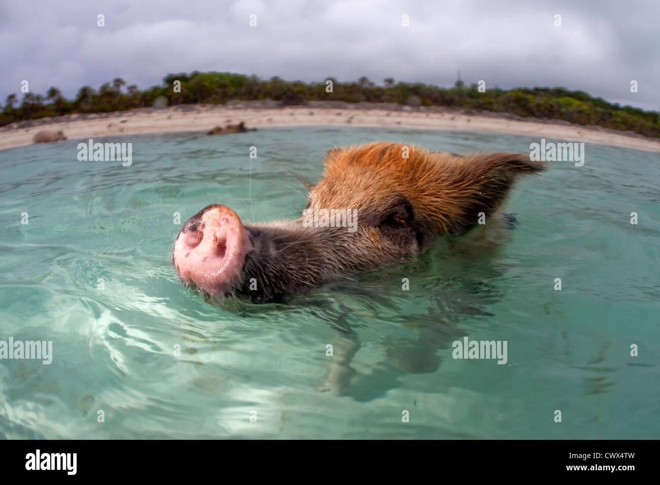 Un cerdo salvaje nadando hasta un barco lleno de turistas en Staniel Cay en las Bahamas. Imagen De Stock