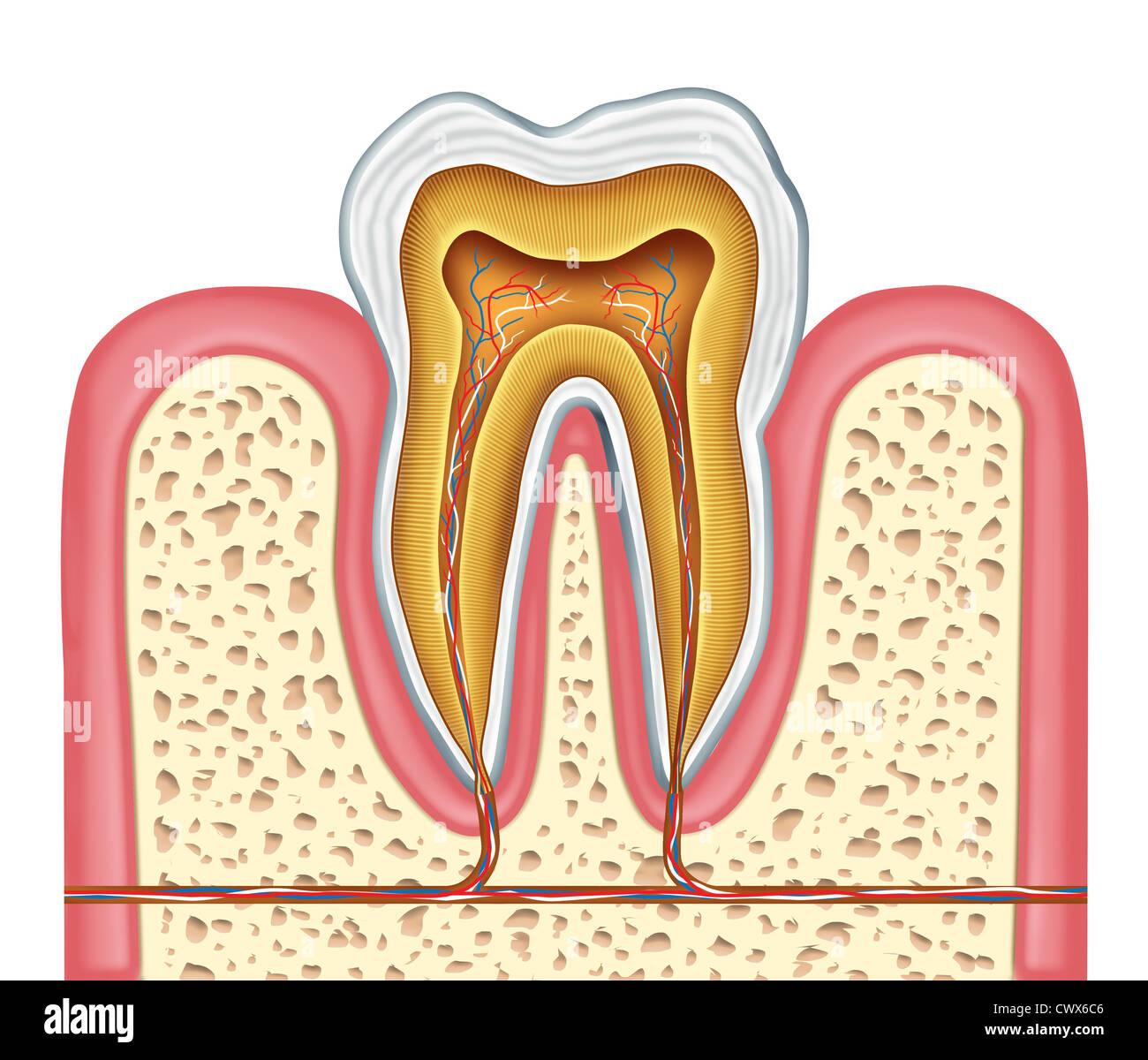 Anatomía de un diente humano saludable diagrama como un cirujano ...