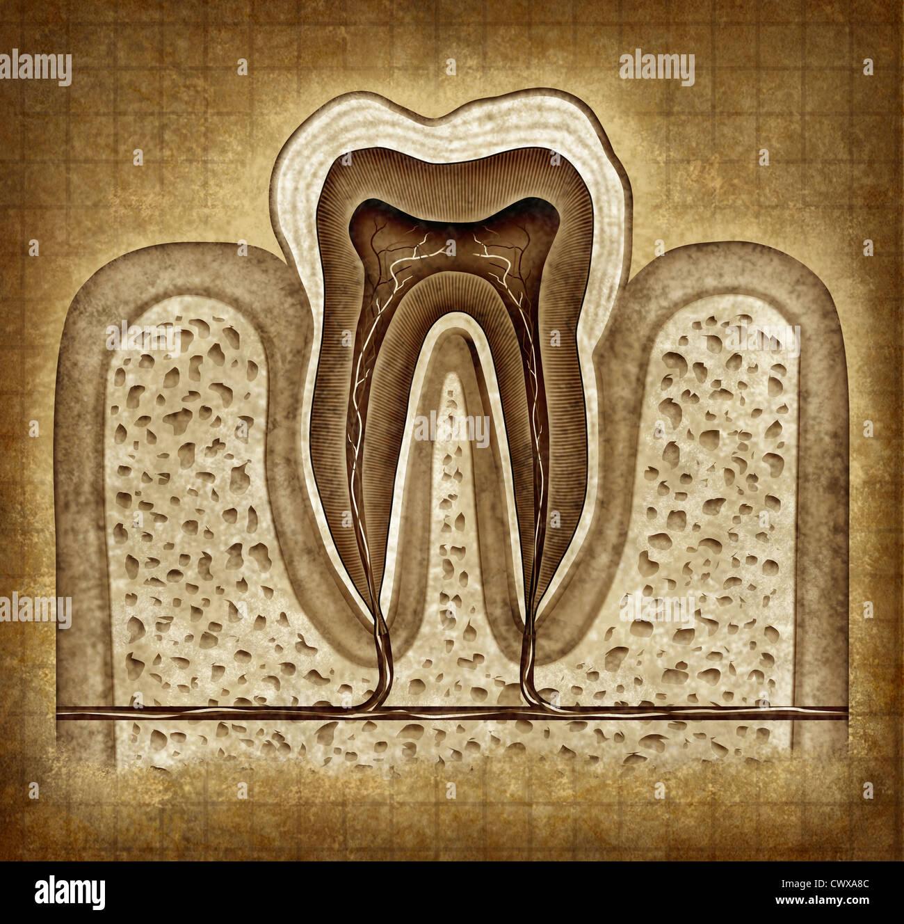 Anatomía interna del diente viejo grunge pergamino diagrama como un ...