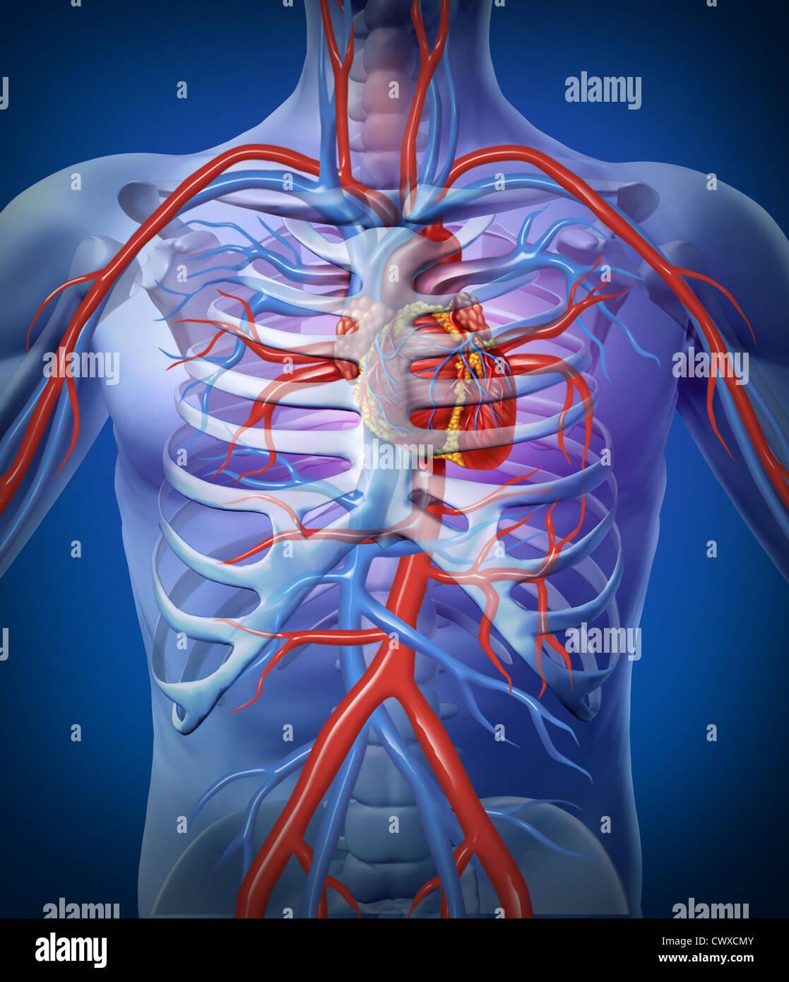 Circulación en el corazón humano un esqueleto del sistema ...