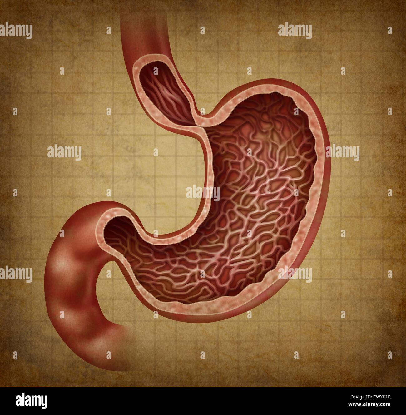Anatomía del estómago diagrama del órgano digestivo humano con una ...