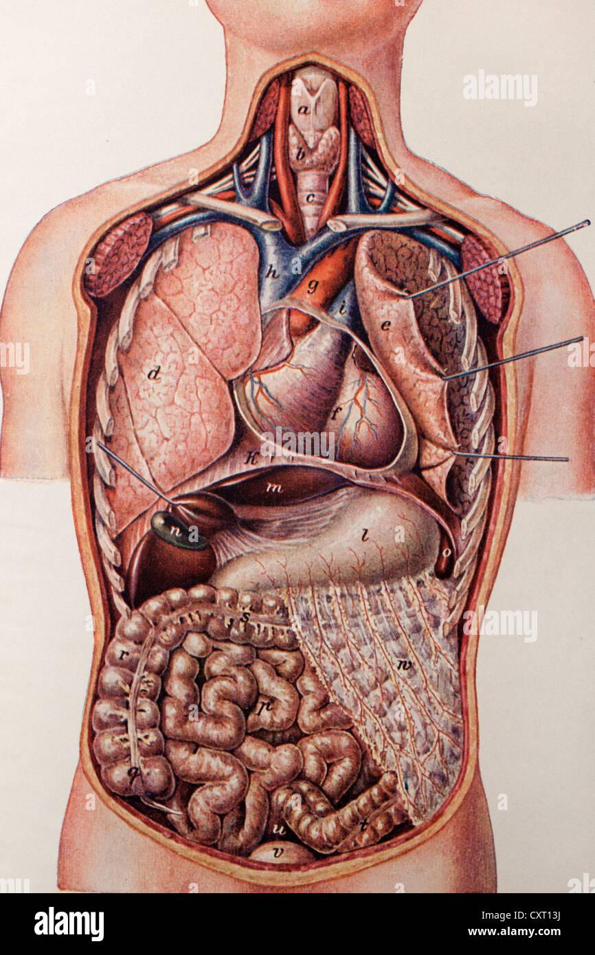 Sección longitudinal de un torso humano, ilustración anatómica Foto ...