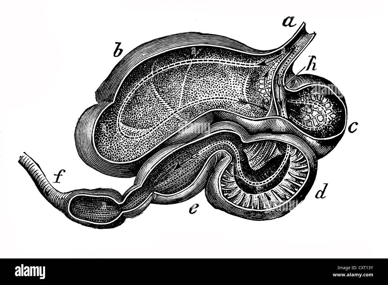 Estómago de vaca, ilustración anatómica Foto & Imagen De Stock ...