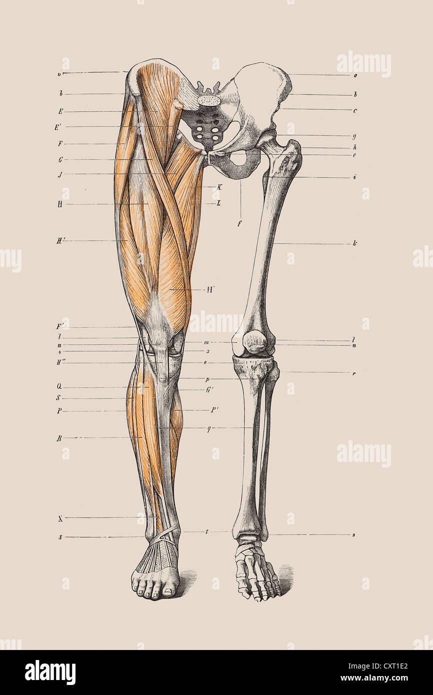 El esqueleto de una pierna humana, ilustración anatómica Foto ...