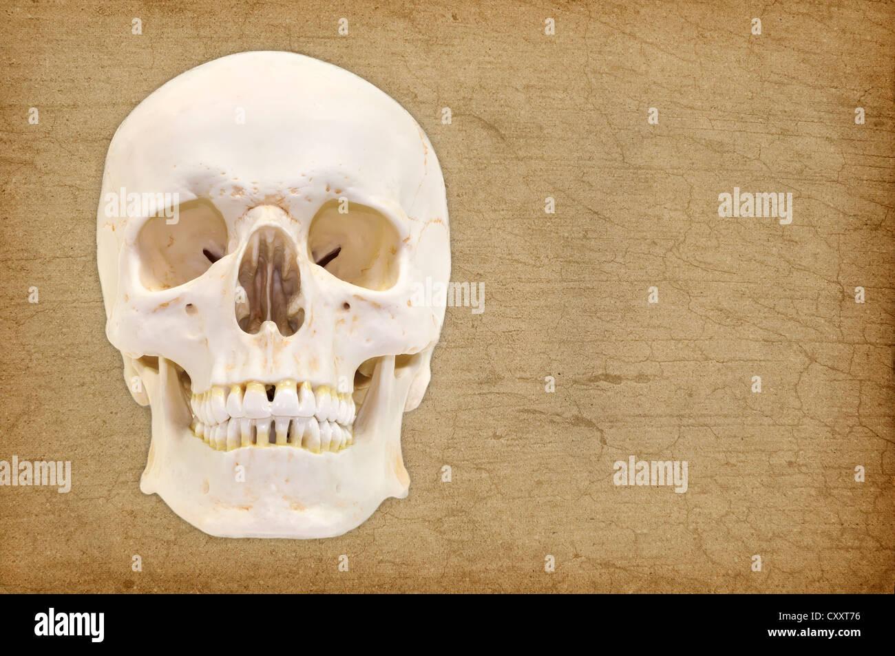 Cráneo humano, modelo anatómico, anatomía Foto & Imagen De Stock ...