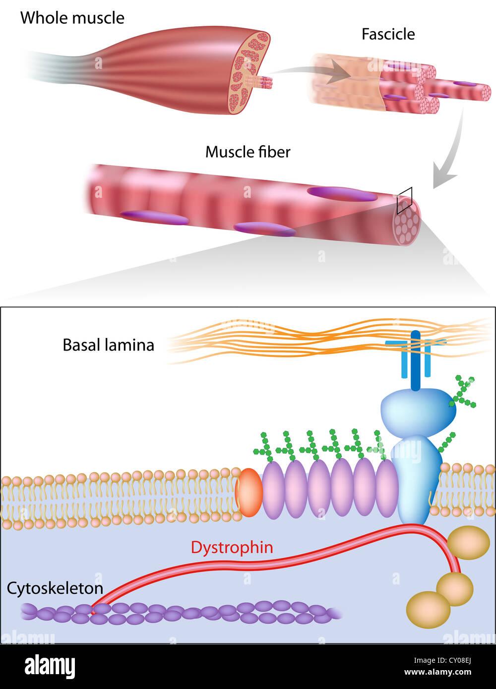Mostrando la estructura muscular distrofina ubicación en la membrana ...
